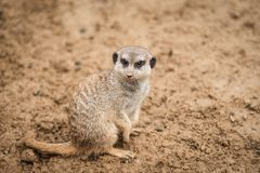 A meerkat in the sand. The picture was taken in warm shades of brown. It is looking above stock images