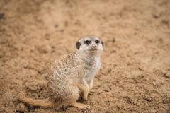 A meerkat in the sand. The picture was taken in warm shades of brown. It is looking above stock image