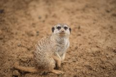 A meerkat in the sand. The picture was taken in warm shades of brown. It is looking above stock photo