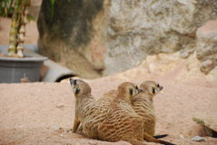 Meerkat on sand. They are meerkat on sand.this place is in zoo in thailand Royalty Free Stock Image