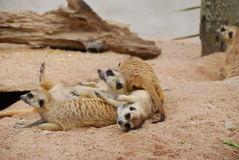 Meerkat on sand. They are meerkat on sand.this place is in zoo in thailand Royalty Free Stock Photography