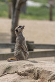 Meerkat. A meerkat sat on a rock at a wildlife centre stock photo
