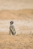 Meerkat sat upright in desert Stock Images