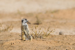 Meerkat sat upright in desert Royalty Free Stock Images