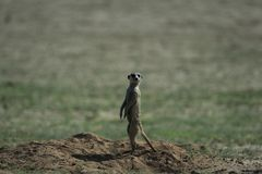 Meerkat in savana in Namibia immagine stock libera da diritti