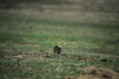 Meerkat in savannah in Namibia royalty free stock photography