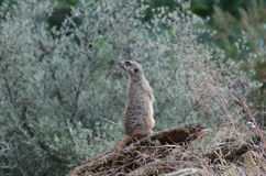 Meerkat Scenting the Air Stock Photography