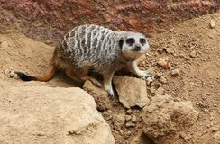 Meerkat, schön, nah oben auf Sand Lizenzfreie Stockbilder