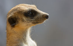 Meerkat.The scientific name is Suricata suricatta. Royalty Free Stock Photo
