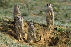Meerkat Scouts Royalty Free Stock Images