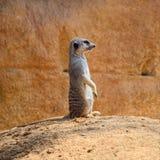 Meerkat se coloca en la tierra foto de archivo libre de regalías