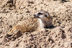 Meerkat se couchant Photographie stock