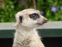 Meerkat se reposant au soleil photo stock