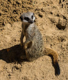 Meerkat se reposant sur le sable Photos stock