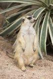 Meerkat se reposant sur le sable Images stock