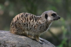 Meerkat se reposant sur une roche Photo stock