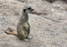 Meerkat se repose à la pierre Image libre de droits