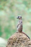 Meerkat se repose sur le monticule Photographie stock libre de droits