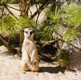 Meerkat se tenant sur la garde sur le sable Image stock