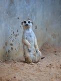 Meerkat se tenant sur le sable moulu Photographie stock libre de droits