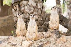 Meerkat se tenant sur une roche Photo stock