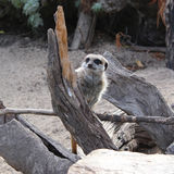 Meerkat semi-transparent Photos stock