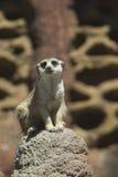 Meerkat senta-se na rocha Imagens de Stock Royalty Free