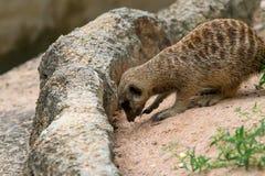 Meerkat sentant et trouvant quelque chose du sable Images libres de droits