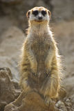 Meerkat Sentinel Royalty Free Stock Photo
