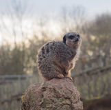 Meerkat sentou-se na pedra Imagem de Stock Royalty Free