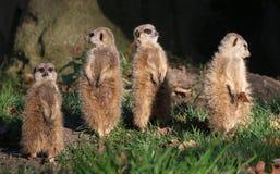 Meerkat Sentries Fotografia Stock