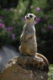 Meerkat sentry Stock Photography