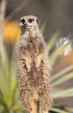 Meerkat on sentry duty Stock Images