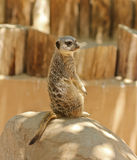 A Meerkat Sentry Sits on a Rock Royalty Free Stock Photo