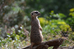Meerkat Sentry Standing at Attention. Meerkat sentry on alert and standing at attention Stock Images
