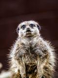 Meerkat sentry stock image