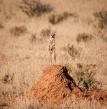 Meerkat Sentry Stock Photo