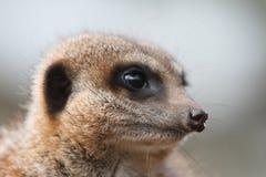 Meerkat Sentry (Suricata suricata) Stock Image