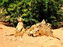 Meerkat 5 Serie Стоковое фото RF