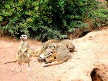 Meerkat 4 Serie Стоковые Фотографии RF