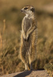 Meerkat in servizio Immagine Stock