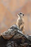 Meerkat in servizio Fotografie Stock Libere da Diritti