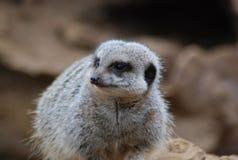 Meerkat si accovaccia Fotografie Stock Libere da Diritti