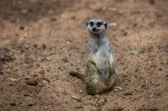 Meerkat si siede sulla terra della sabbia fotografia stock libera da diritti