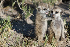 Meerkat siblings Royalty Free Stock Photo