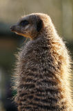 Meerkat side view Royalty Free Stock Photos