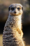 Meerkat side view 3 Royalty Free Stock Photo