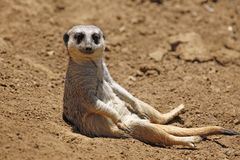 Meerkat Sit Royalty Free Stock Image