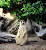 Meerkat. Sit on sand with nature frame Stock Photos