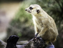 Meerkat sit on wood Stock Photo
